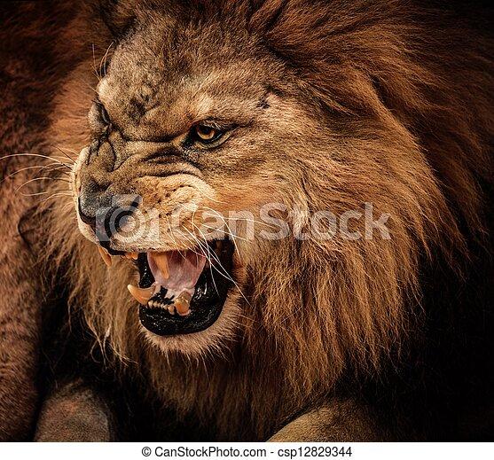 närbild, rytande, skott, lejon - csp12829344