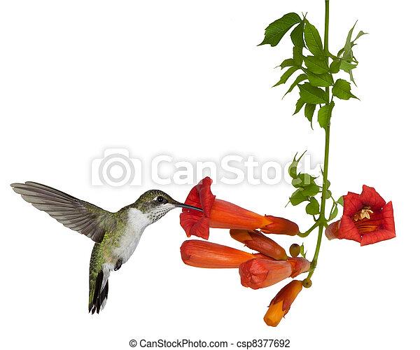 néctar, trompeta, vid, throated, sorbos, rubí, colibrí - csp8377692