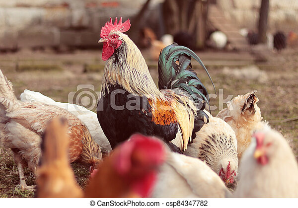několik, barvitý, farma, samička, kohout - csp84347782