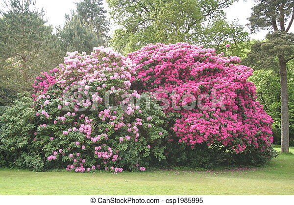 nagy, rododendron, bushes. - csp1985995