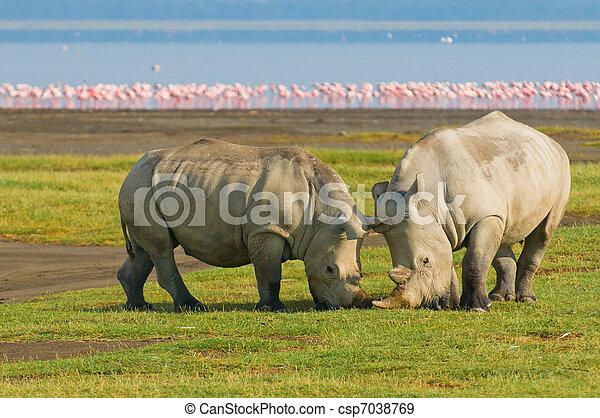 Rinocerontes en el parque nacional del lago Nakuru, Kenya - csp7038769