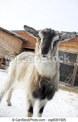 nanny-goat - csp6301925