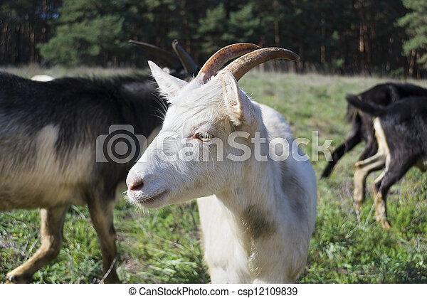 nanny-goat - csp12109839