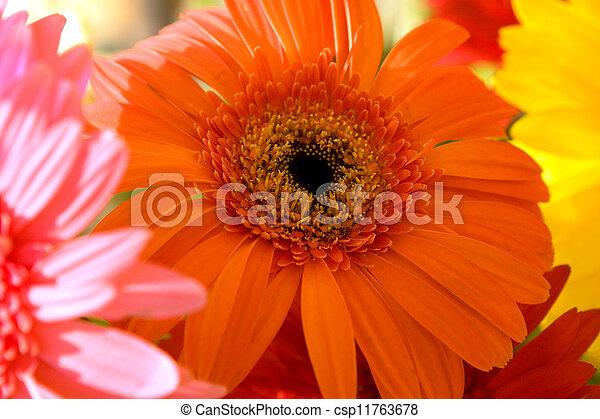 Herbera naranja - csp11763678