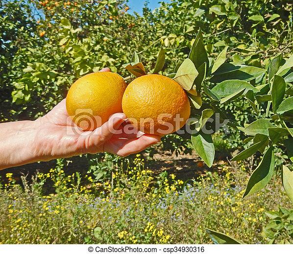 Mujer sosteniendo naranjas maduras - csp34930316