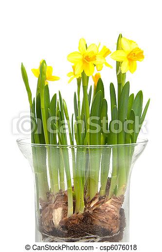 Attractive Narciso, Fiore, Giallo, Vaso   Csp6076018