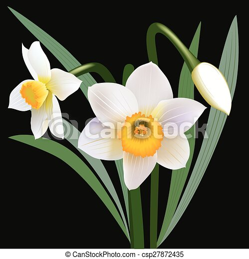 Narcissus flowers with leaves - csp27872435