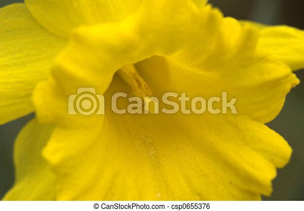 Narcissus - csp0655376