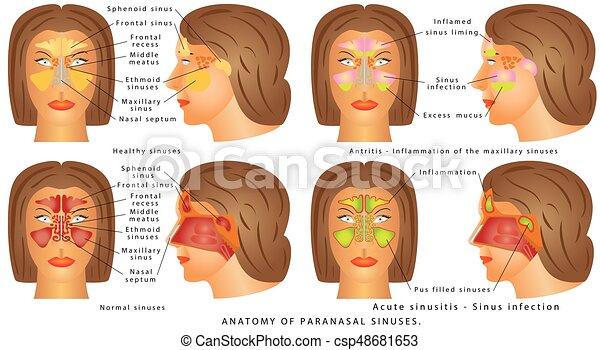 Nasal Sinus Human Anatomy Sinus Diagram Anatomy Of The Nose
