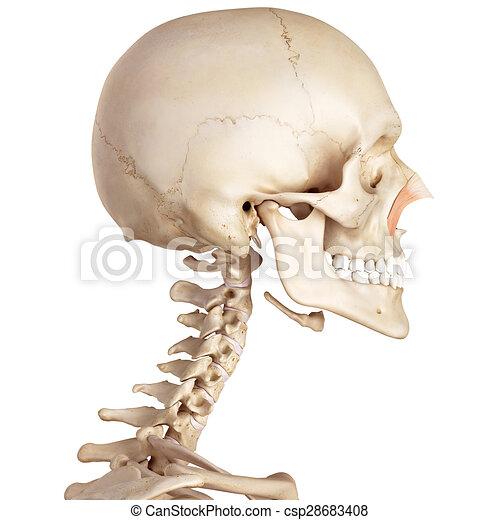 Nasalis, quer. Genau, nasalis, medizinische abbildung, quer.