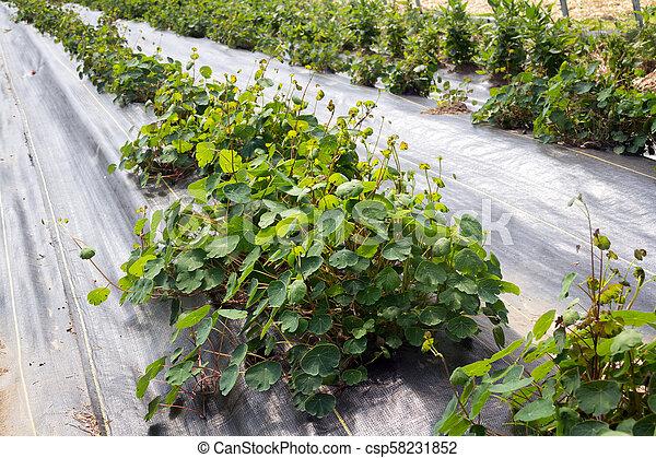 nasturtium plant growing in farm - csp58231852