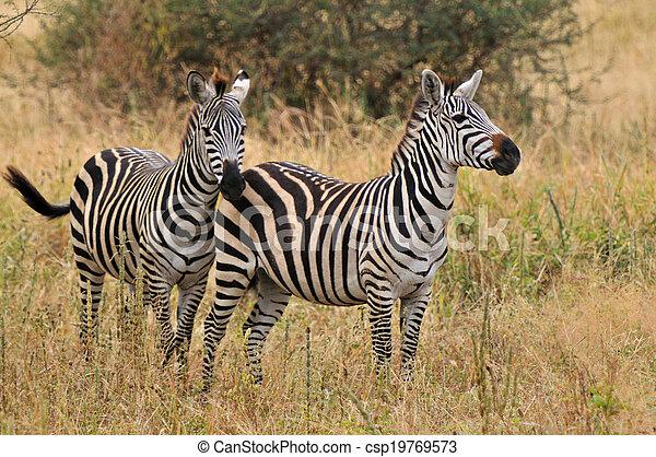 national, tanzanie, parc, zèbres, tarangire - csp19769573