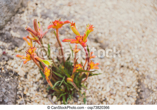 Native Australian Kangaroo Paw Plant With Red And Yellow Flowers Planted In The Ground Shot At Shallow Depth Of Field,Boneless Ribs In Oven At 400