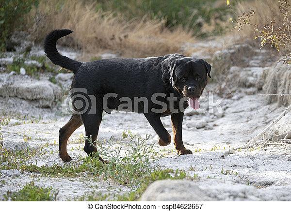 natur, rottweiler - csp84622657