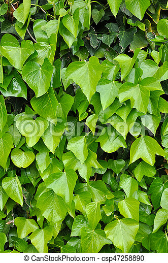 Natural background of vibrant green ivy leaves - csp47258890