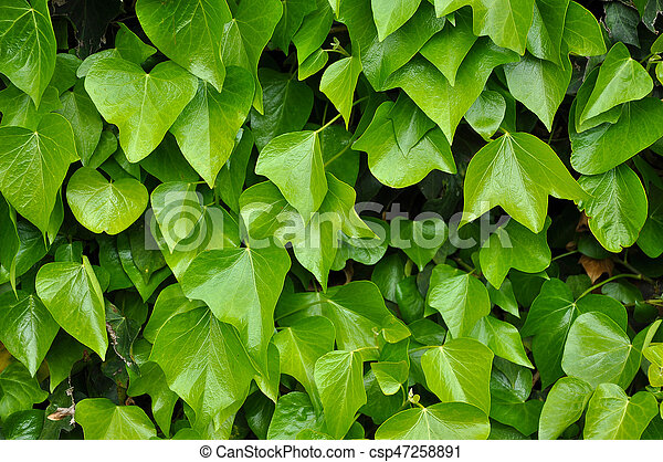Natural background of vibrant green ivy leaves - csp47258891