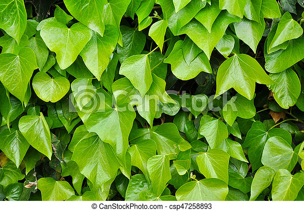 Natural background of vibrant green ivy leaves - csp47258893