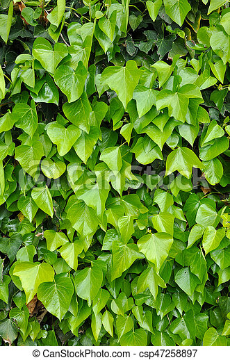 Natural background of vibrant green ivy leaves - csp47258897
