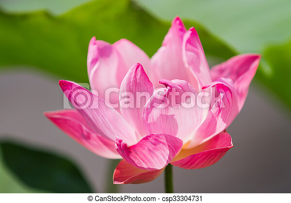 Natural background with lotus flower and leaves bangkok thailand mightylinksfo