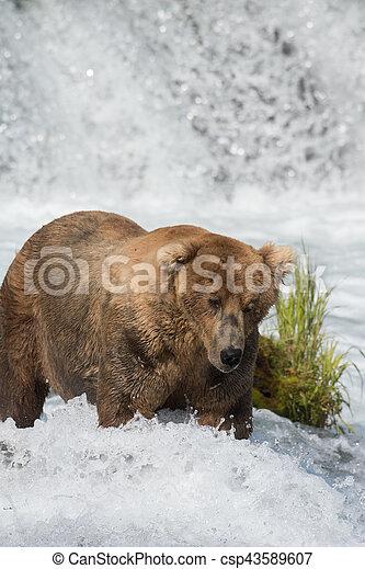 Pesca de osos marrones de Alaska - csp43589607
