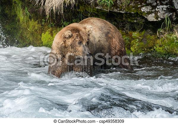 Pesca de osos marrones de Alaska - csp49358309