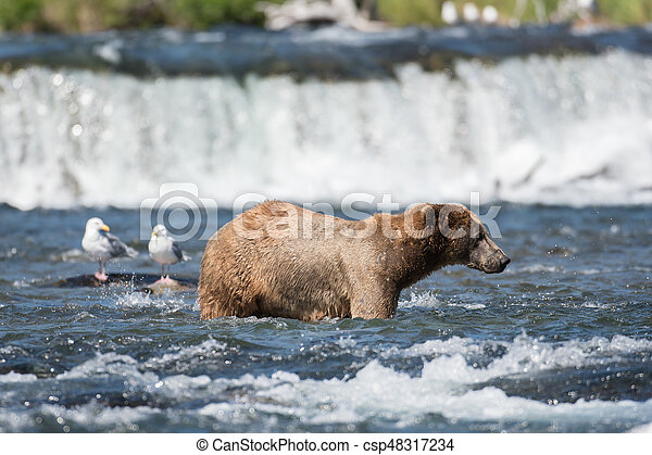 Pesca de osos marrones de Alaska - csp48317234