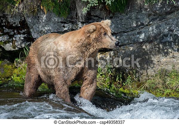 Pesca de osos marrones de Alaska - csp49358337