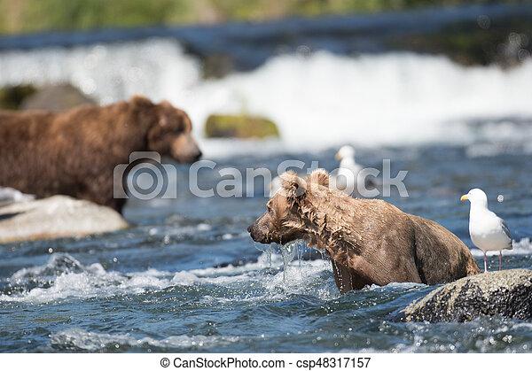 Pesca de osos marrones de Alaska - csp48317157