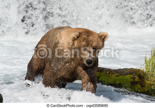 Pesca de osos marrones de Alaska - csp43589695