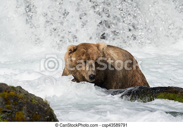 Pesca de osos marrones de Alaska - csp43589791