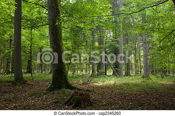 Natural stand of Bialowieza forest Landscape reserve with oak tree moss wrapped - csp2345260