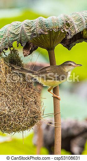 Ave (Plain Prinia) construir nido de pájaros en la naturaleza - csp53108631