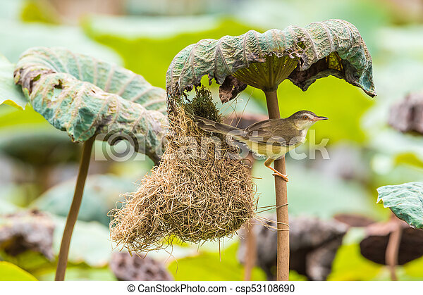 Ave (Plain Prinia) construir nido de pájaros en la naturaleza - csp53108690