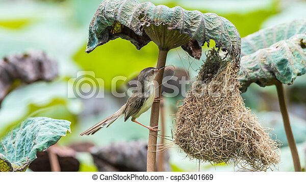 Ave (Plain Prinia) construir nido de pájaros en la naturaleza - csp53401669