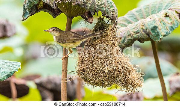 Ave (Plain Prinia) construir nido de pájaros en la naturaleza - csp53108714