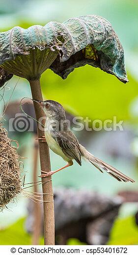 Ave (Plain Prinia) construir nido de pájaros en la naturaleza - csp53401672