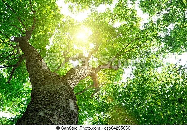 nature, arbres., arrière-plans, lumière soleil, bois, forêt verte - csp64235656