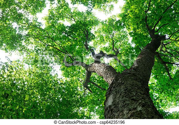 nature, arbres., arrière-plans, lumière soleil, bois, forêt verte - csp64235196