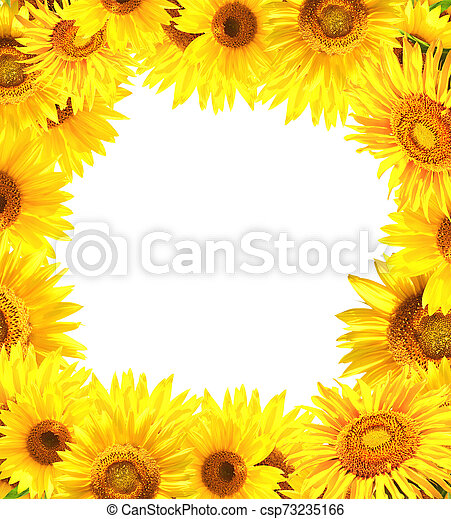 nature frame with sunflowers nature frame with many yellow sunflowers isolated on white background copy space for text can stock photo