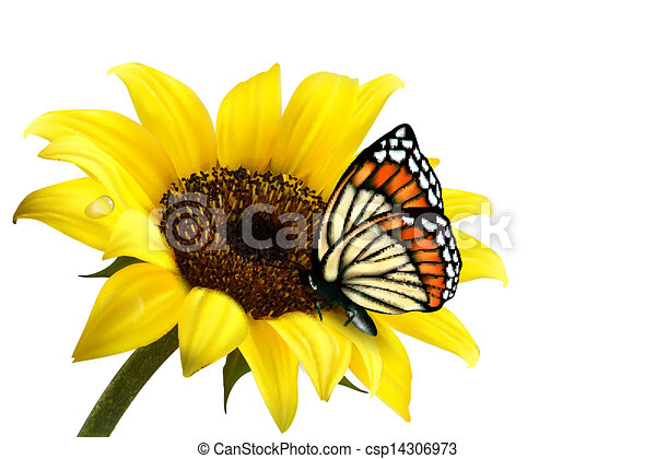 Sunflower Line Drawing : Nature summer sunflower with butterfly. vector illustration
