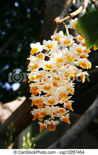 natureza, orquídea - csp12287454
