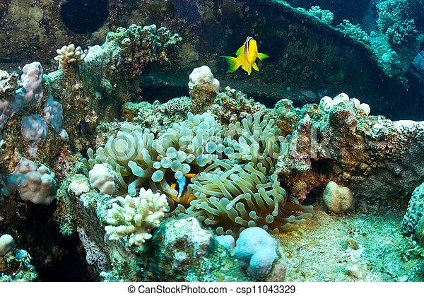 naufrage, clownfishes - csp11043329