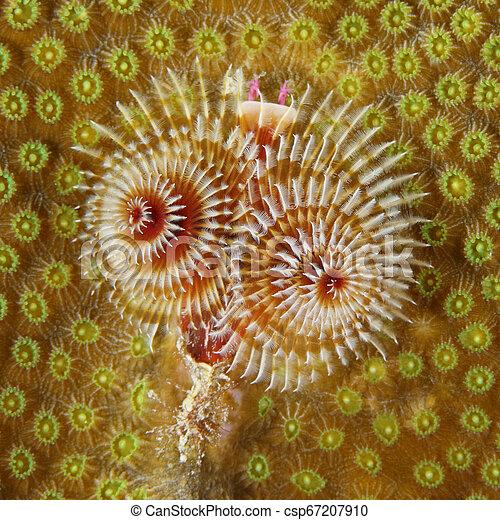 Gusano de árbol de Navidad en una cabeza de coral - csp67207910