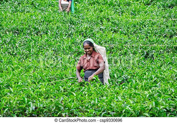 NEAR MOUNT PIDURUTALAGALA, SRI LANKA, DECEMBER 8, 2011. Tea pickers working on tea plantations near Mount Pidurutalagala, Sri Lanka, December 8, 2011. - csp9330696