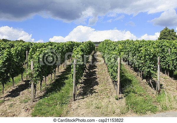 Neat rows of Grape vines - csp21153822