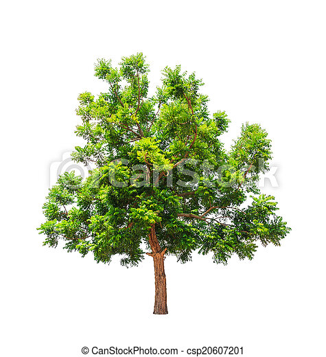 Neem plant (Azadirachta indica), tropical tree in the northeast  - csp20607201