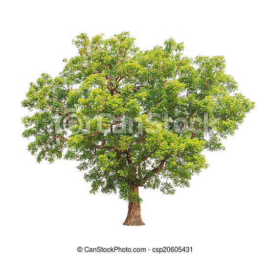 Neem Plant Azadirachta Indica Tropical Tree In The Northeast Of