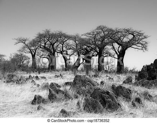 Baobab Paradise cerca de Savuti en blanco y negro - csp18736352