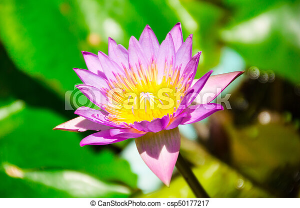 Nelumbo lutea pets with sources in the north similar to lotus leaves nelumbo lutea pets with sources in the north similar to lotus leaves flowering characteristics of stock photo mightylinksfo