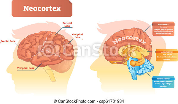 Neocortex vector illustration. Labeled diagram with location and functions. - csp61781934